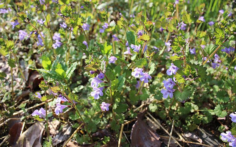 4月下旬に紅紫色の花をつける