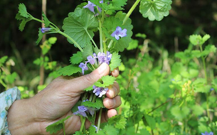 根は残し根元の茎より上部を採取