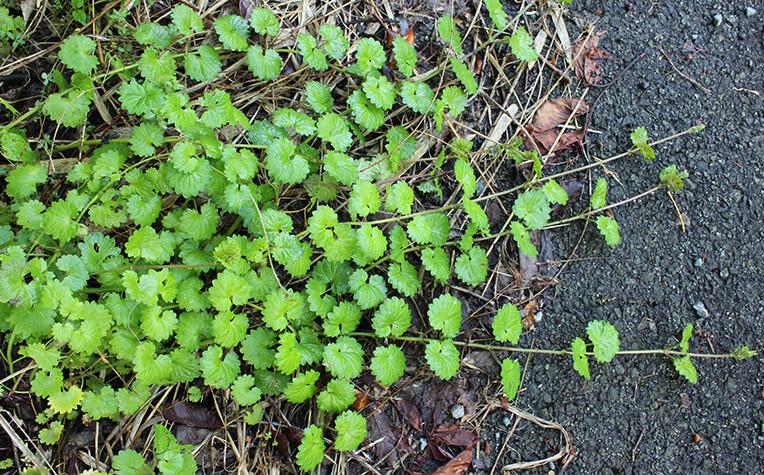 花が終わる5月下旬には葉茎は倒れて地表をはうようになる