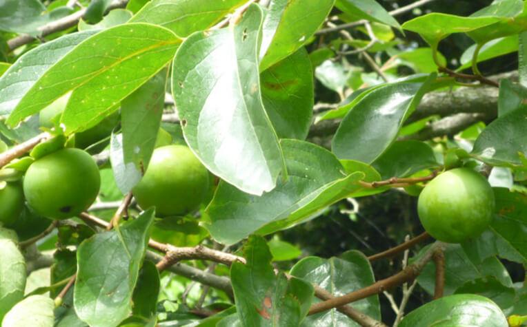 7月下旬の生長途中の果実