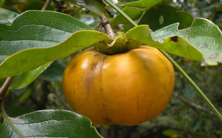 10月上旬には果実が熟す