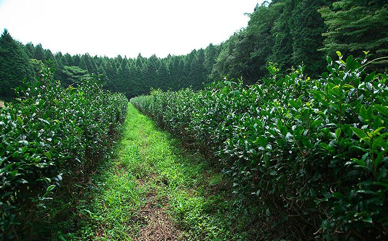 7月中旬の茶畑