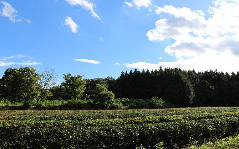 8月下旬の茶畑
