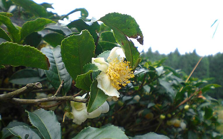 10月中旬に白色の花をつける