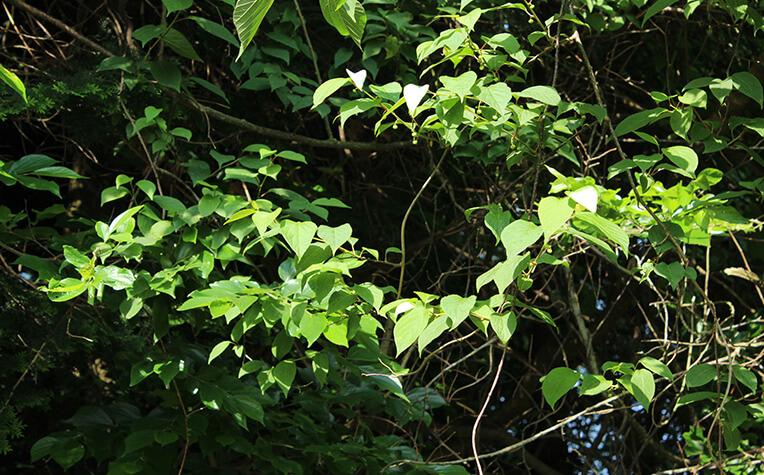 枝は蔓状で開花時期になると枝先の葉の表が白くなる