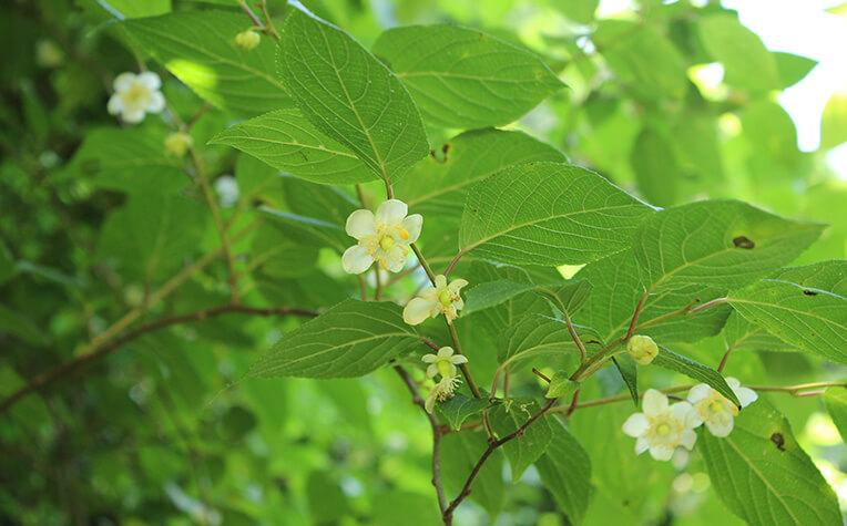 6月中旬に白く芳香のある5弁の花をつける