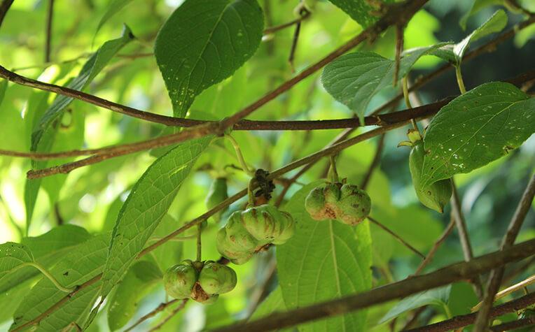 マタタビアブラムシが産卵して虫コブができた果実は虫癭果(ちゅうえいか)と呼ばれる