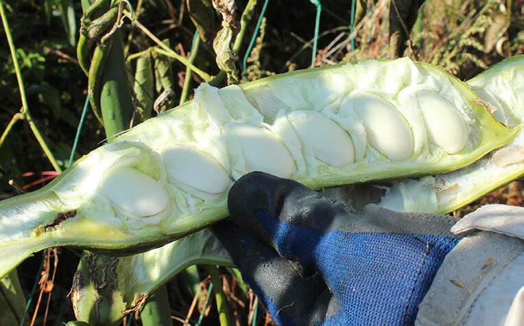 さやを開くと綿に包まれた白い大きな種子が並ぶ