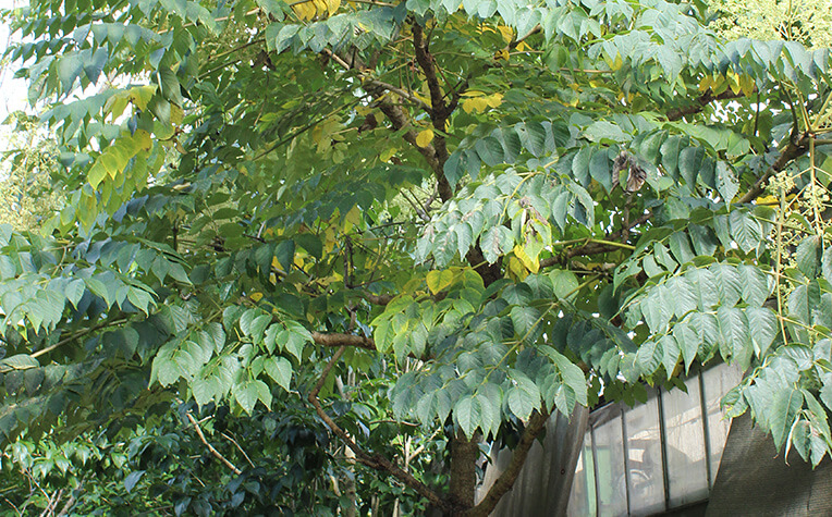 8月下旬のたらの木