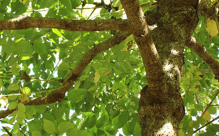 樹皮には大きなとげがたくさんある