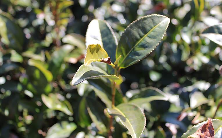 2月初旬の春を待つ茶葉