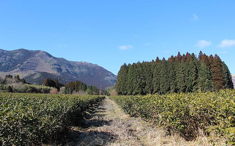 2月初旬の茶畑