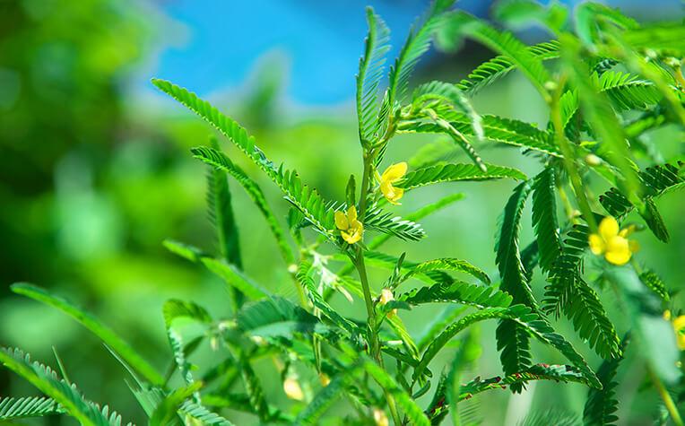 昔は川原でよく見かけたが帰化植物増加により現在は稀少