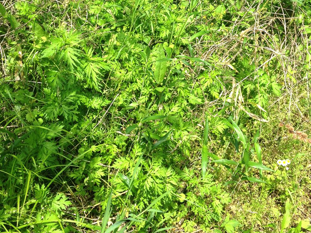 他の植物と混在